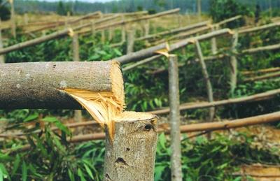 被锯断的树木中有的已经碗口粗