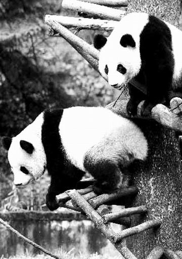 大熊猫 种群/图一