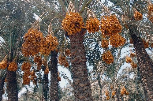 高大的椰枣树上结满