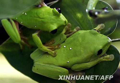 地区的卡利动物园举办的两栖动物展上,两只绿色的青蛙停在一片树叶上.