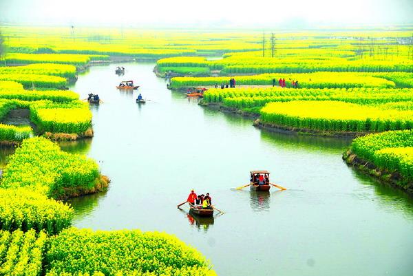 溱湖桨声急 千岛菜花香