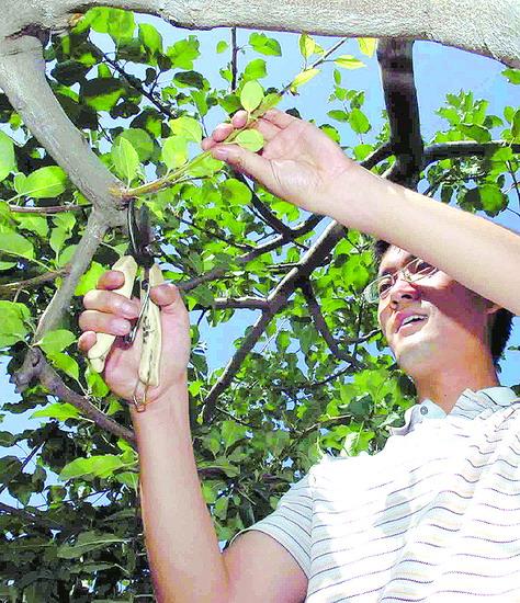 《求是》杂志记者孙煜华为苹果树剪枝.