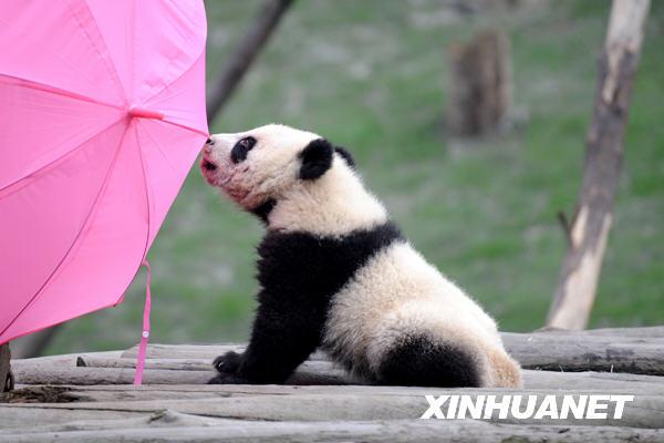 卧龙16只大熊猫宝宝进入幼儿园