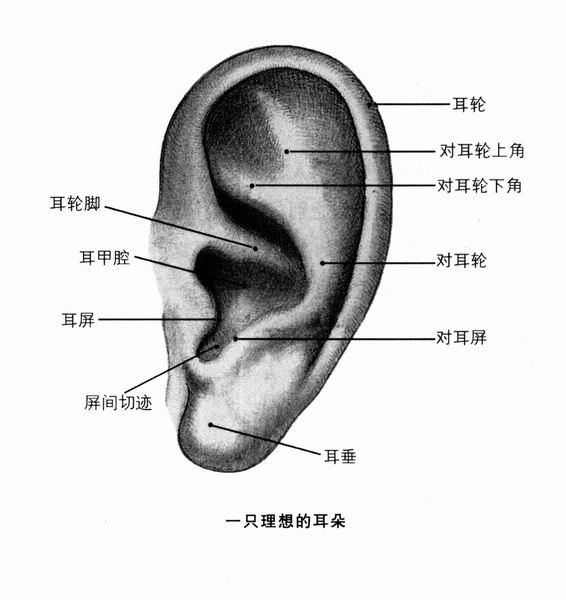 耳朵外部结构图解