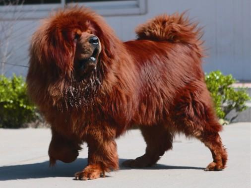 世界上最大的狗藏獒_世界上最大的藏獒狗图片