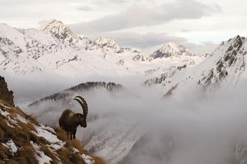 光明网  图片5:冰岛, 豪斯川迪尔自然保护区,北极狐.